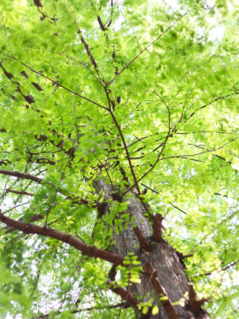 初夏の公園で見上げた街路樹の美しい風景