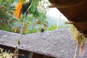 ランカウイのリゾートホテル、ザ・ダタイで見かけた野生の猿